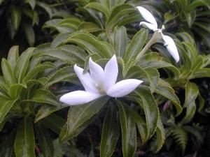 Apetahia raiateensis-Raiatea-Temehani Ute Ute-mai 2005-JYM