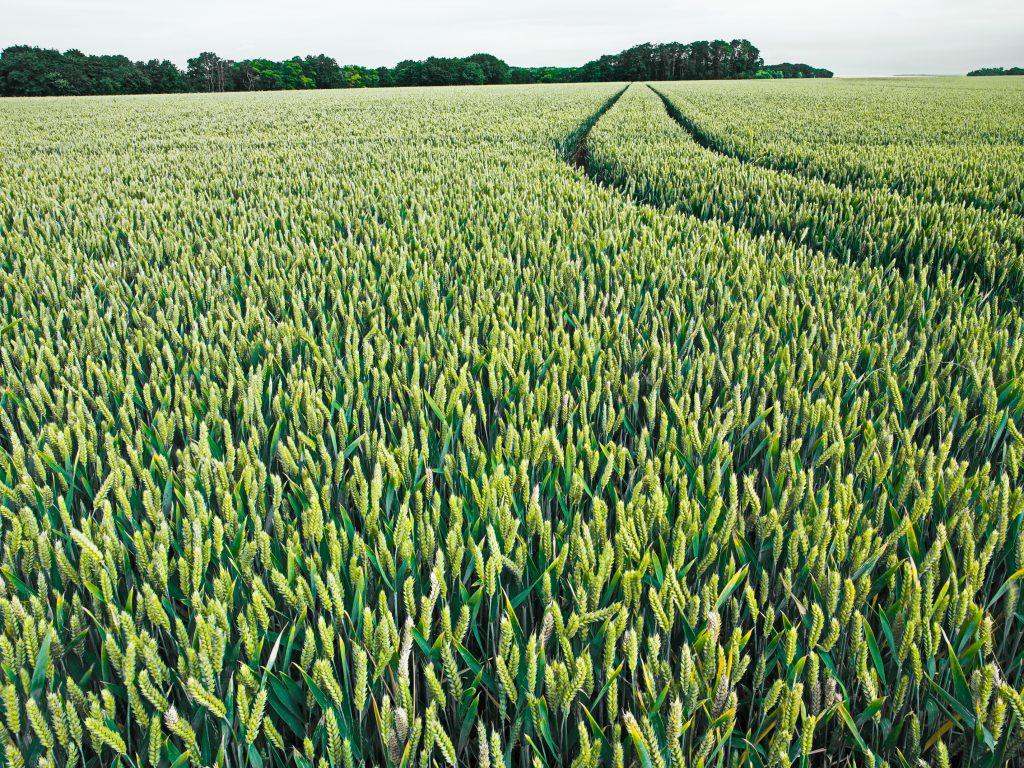 Champ de blé vert - crédit: Erik Hesmerg